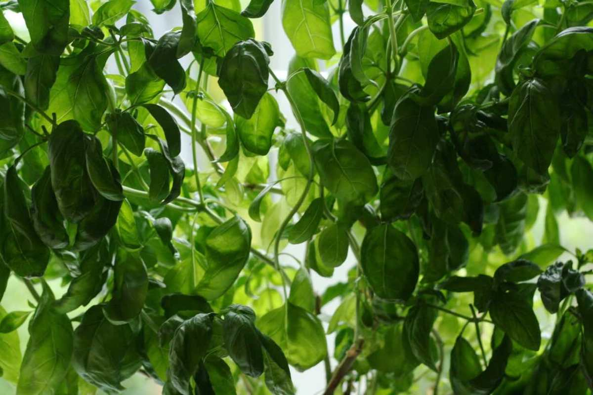 Basil envy and how to grow your own gigantic basil bush