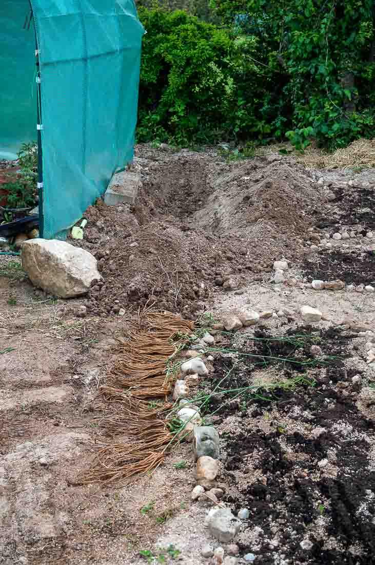 planting asparagus plants-1