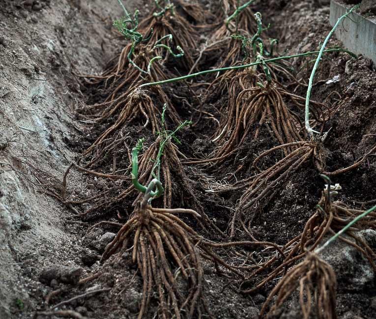 planting asparagus plants-5