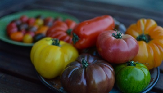 Frugal gardening: how to save tomato seeds