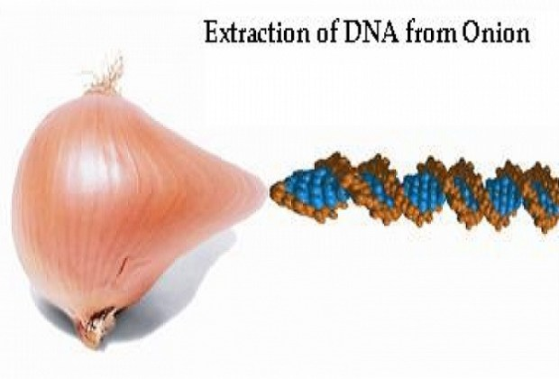 Extraction of DNA from Onion