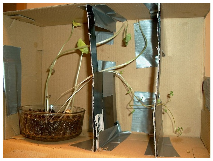 DO PLANTS GROW TOWARDS LIGHT: BIOLOGY SCIENCE FAIR PROJECT ON PHOTOTROPISM