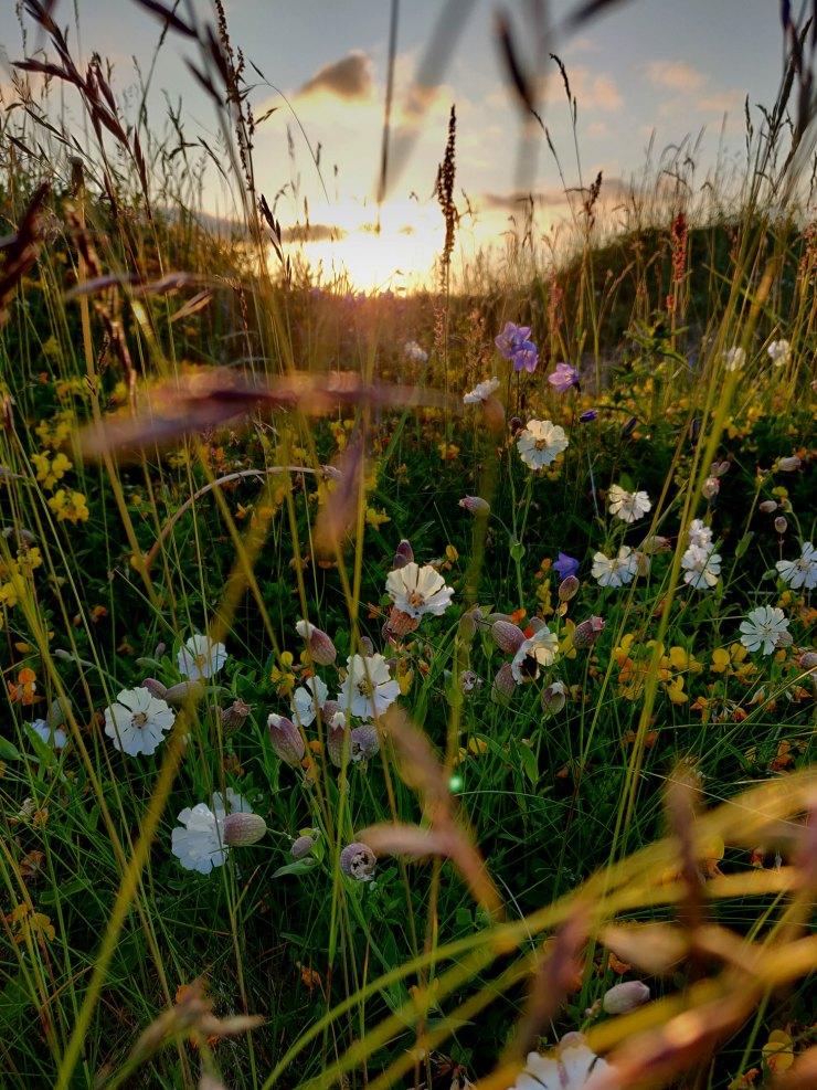 Kukkia Lofoottien yöttömässä yössä