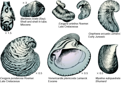 Bivalves - from Fention & Fenton