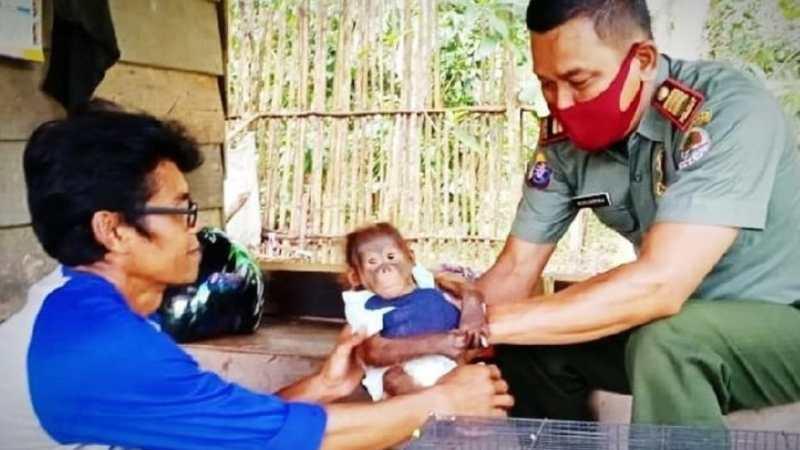 Bayi Orangutan di Selamatkan Misran.
