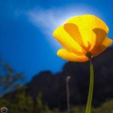 Picacho Peak Flower 3