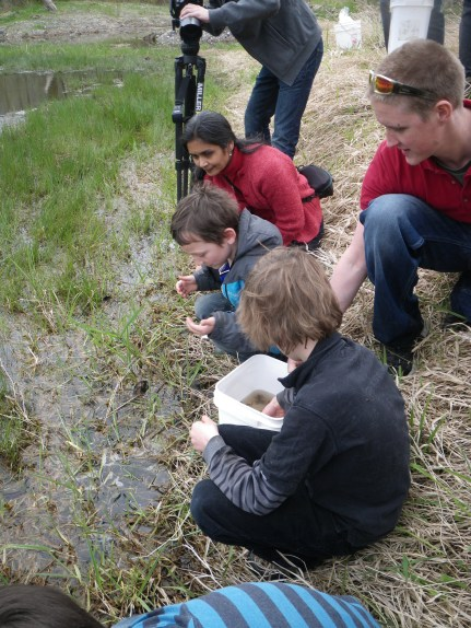 Releasing the first ever captive bred Oregon spotted frogs with the help of local kids! Spring 2011.