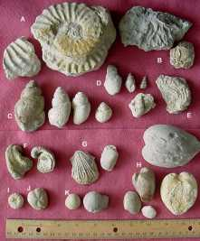 Image collected from the internet - Shows snails (C&D), Round & Heart Sea Urchins (I&J) and Clams (H.)