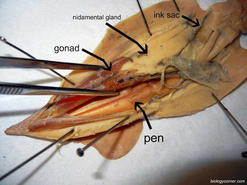 Squid External Anatomy Diagram