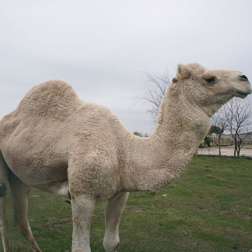 Camel - Desert Farms - Paleo Approved - Paleo Foundation