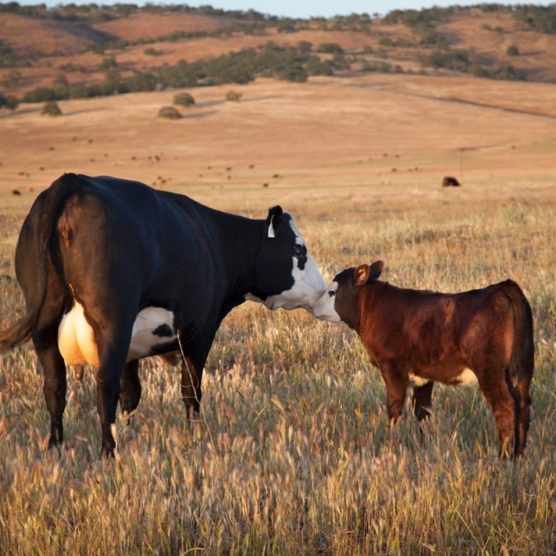 Adorable-Cow-and-baby-Sun-Fed-Ranch