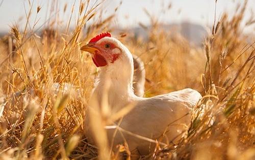 primal pastures chicken in field crop