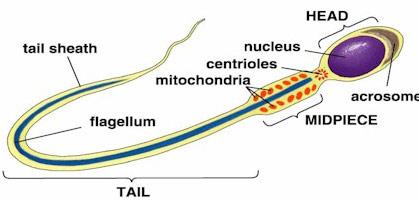 mitochondria   PaleolithicRomano's Blog