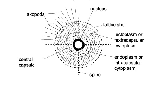 radiolaria slide diagram