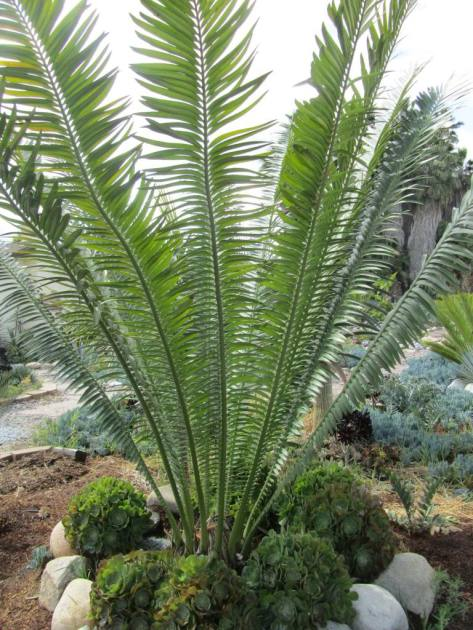 These cycads are grown in a garden, but wild cycads tend to grow in large thickets. They depend on being close to each to reproduce.