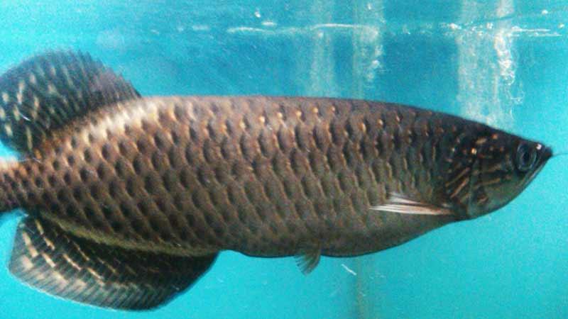 Ikan Arwana Termahal