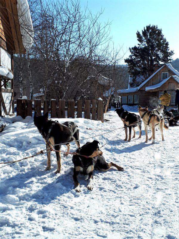 dogs listvyanka