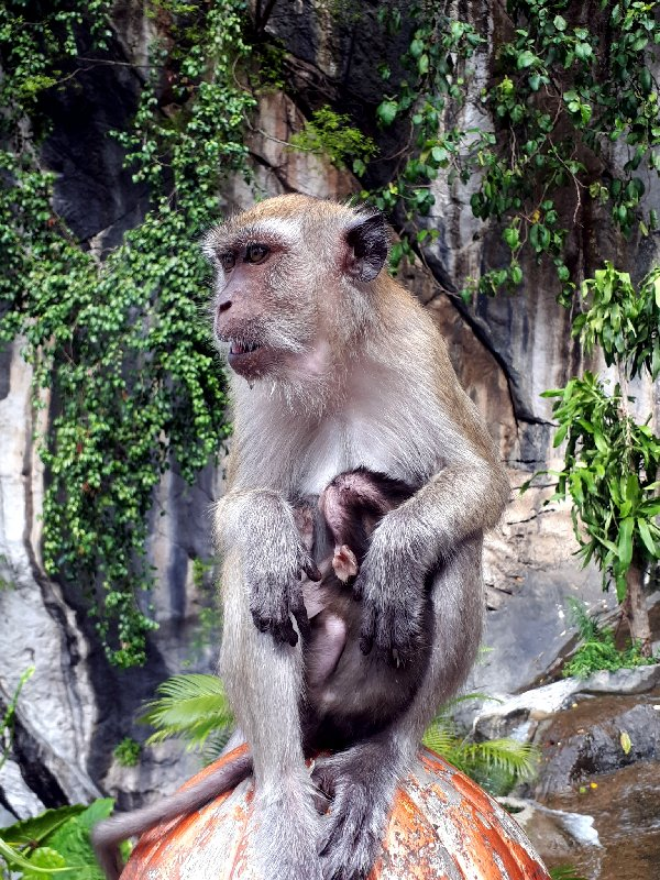 monkey baby mother macaques