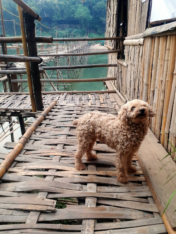 dog bamboo bridge