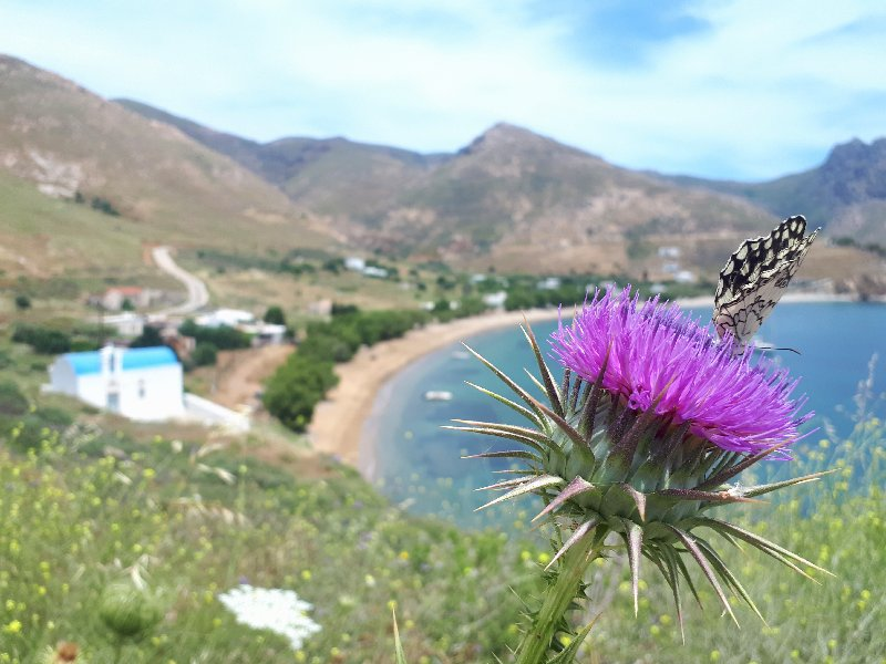 koutala bay wildflower butterfly serifos guide