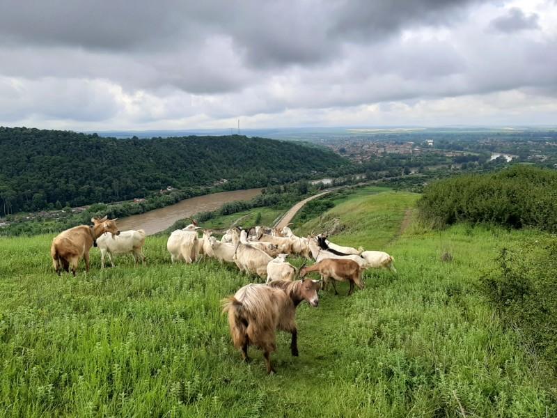 goats soimos