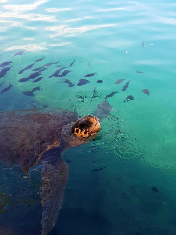 turtle megisti