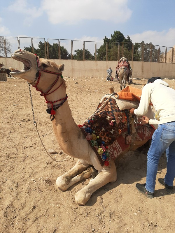 camel ride giza