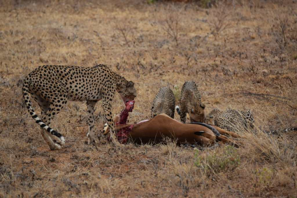 Cheetah mother & cubs