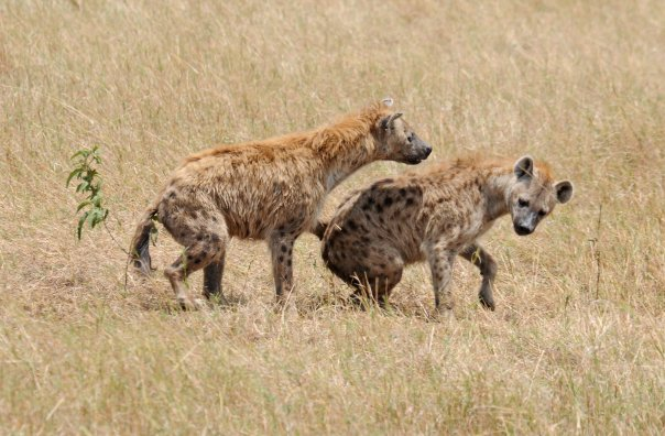Spotted hyenas 2