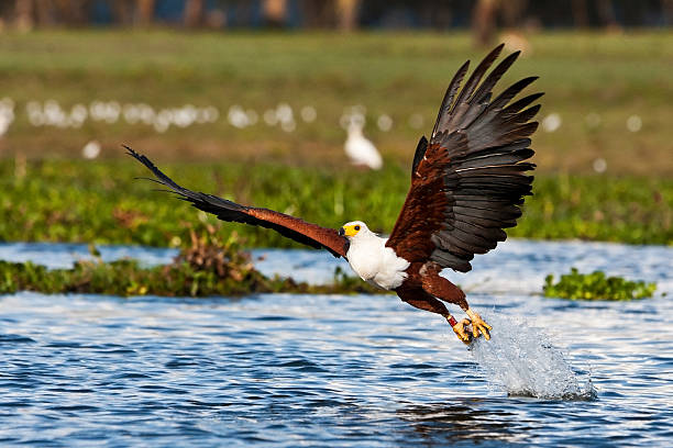 lake-naivasha-fish-eagle