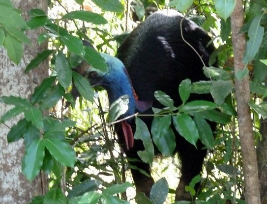 Cassowary in the Daintree Rain Forest