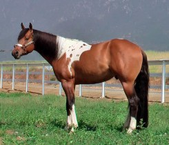 tobiano Billy%20JUNE10t%20copy