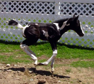 """Shawnee"", homozygous tobiano filly by Pawnee Brave"