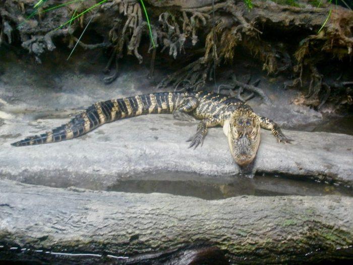 Alligator at NC Aquarium