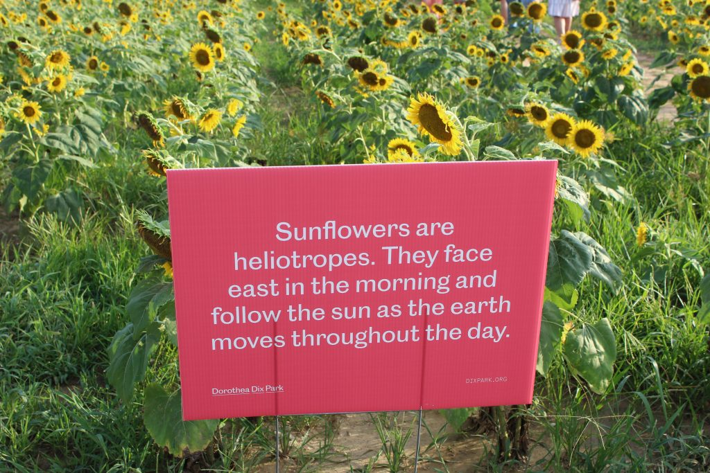 sunflowers at Dorothea Dix Park