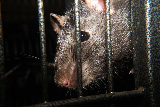 Diseases Carried by Rats | Palmetto Wild Life Extractors