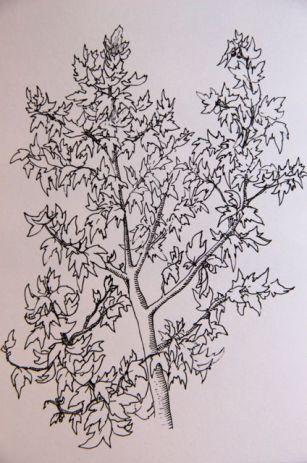 Plants drawings. Dibujos de plantas.