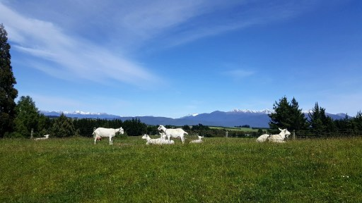The pristine environment where our dairy goats live.