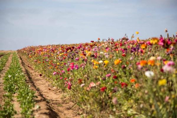 The Flower Fields-41