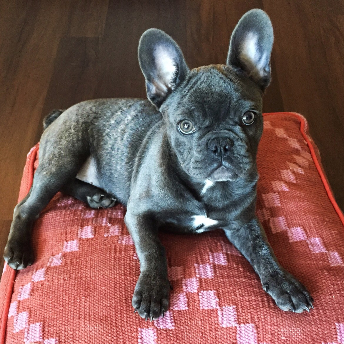 Frenchie   FillyDog Bed   Palms to Pines