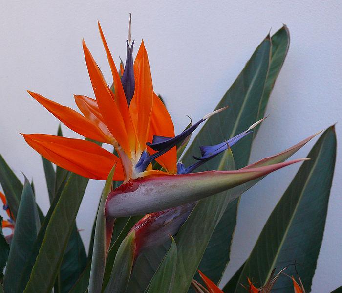 Strelitzia reginae  Paradijsvogelbloem  Exoten  La