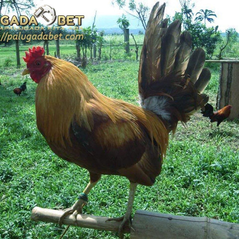 Cara Yang Sederhana Untuk Melatih Ayam Aduan Sabung Ayam Online