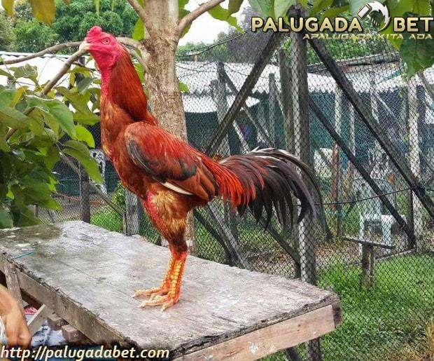 Jenis-Jenis Ayam Sabung Jagoan Yang Hebat Dan Layak Menang