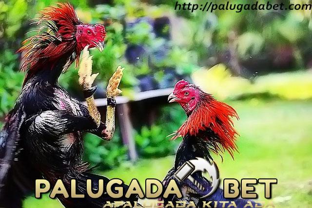 Memelihara Ayam Bangkok