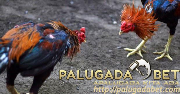 Pakan Ayam Bangkok Yang Sesuai Dengan Gaya Bertarung