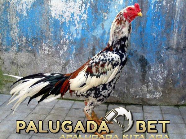 Agen Sabung Ayam - Pelatihan Ayam Bangkok Jawara Khas Cindelaras