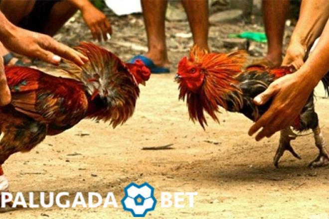 Jenis-Jenis Latihan Untuk Memperkuat Ayam Bangkok