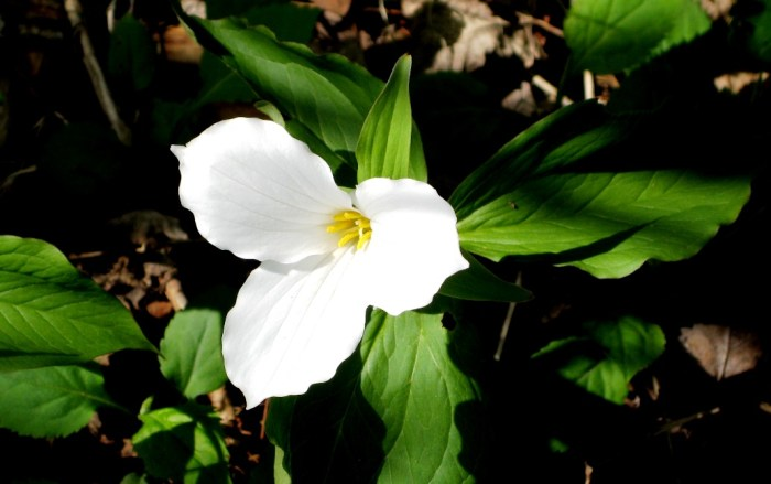 Trillium_with_the_leaves