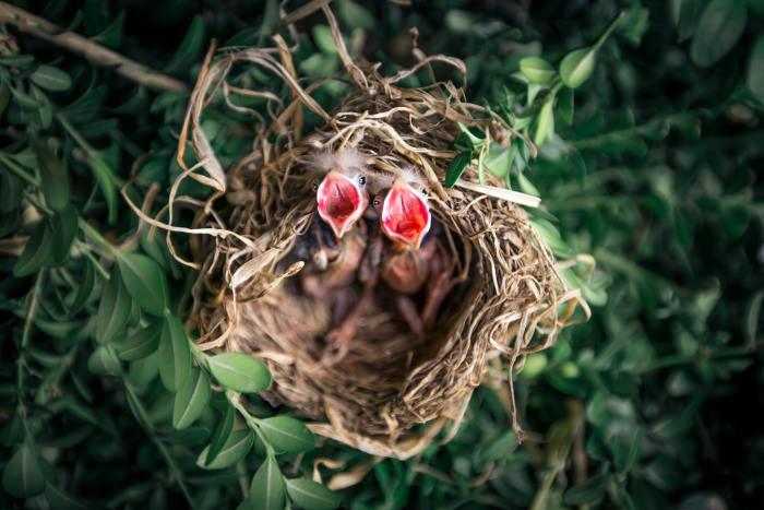 animals-baby-birds-bird-nest-1275680