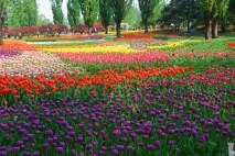 Tulips at the Beijing Botanic Garden